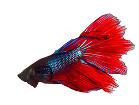 pic of fighter-fish  - thai red betta fighting fish top form isolated white background - JPG