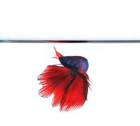 picture of fighter-fish  - thai red betta fighting fish top form under clear water isolated white background - JPG