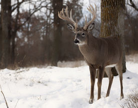 stock photo of bucks  - Large whitetail deer buck stands on a hillside in the snow - JPG