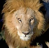 stock photo of dread head  - Photo taken of a lion in Botswana - JPG