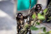 stock photo of marmosets  - Common marmoset or White - JPG