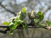 pic of dnepropetrovsk  - this is a picture of first leaves on the apple - JPG