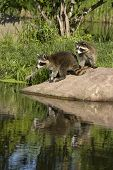 picture of raccoon  - Two young raccoons standing on a rock near a quiet lake - JPG