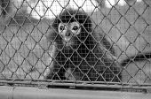 picture of caged  - black and white monkey in cage in the zoo - JPG