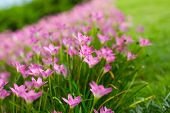 stock photo of lily  - Pink Zephyranthes Lily Rain Lily Fairy Lily Little Witches in the garden - JPG