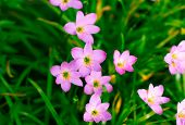 image of lily  - Zephyranthes Lily or  Rain Lily or Fairy Lily or Little Witches in the garden - JPG
