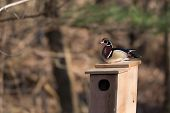 pic of nesting box  - Male and female wood duck on a nest box at a pond in midwest United States  - JPG