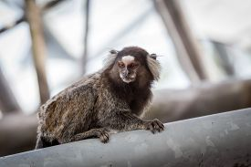 picture of marmosets  - Common marmoset or White - JPG