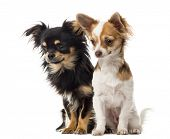 pic of stare  - Chihuahuas sitting and staring in front of a white background - JPG