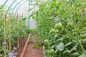 foto of greenhouse  - The photo of Unripe tomatoes in greenhouse taken closeup - JPG