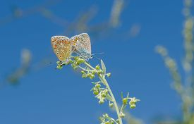 foto of coitus  - Coupling act in family of Common Blue  - JPG