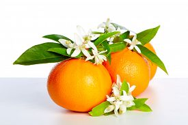 picture of valencia-orange  - Oranges with orange blossom flowers in spring on white background - JPG