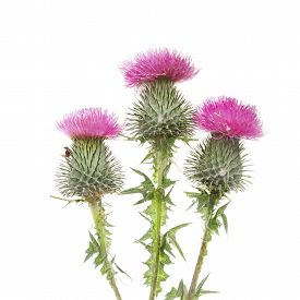 picture of scottish thistle  - Three Thistle flowers isolated against a white background - JPG