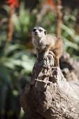 Little meercat sitting on a rock
