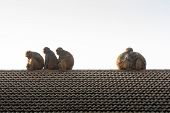 Wildlife Background With Monkeys And Baby Monkey On Roof Top. Image For Animal Mammal Nature Wild Pe poster