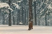 Winter Forest Nature. Pine Forest In Winter. Nature. Pine Forest Under Snow. Natural Environment. Fo poster