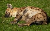 Hyena Laid Down Peacefully Sleaping Over Grass poster
