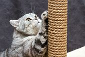 Gray Shorthair Scottish Striped Cat Scratching A Brown Post poster
