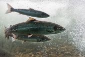 Salmon Swimming Against River Current. Norway, Stavanger Region, Rogaland, Ryfylke Scenic Route. Sal poster