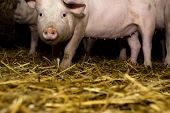 pic of farrow  - Little Pigs and hay. Agriculture industry concept