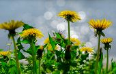 Close Up Of Blooming Yellow Dandelion Flowers (taraxacum Officinale) In Garden On Spring Time, With poster