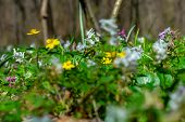 Forest Floor In A Sunny Spring Day, Covered With Spring Flowers Bloomings Like Yellow Wood Anemone ( poster