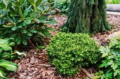 Picea Abies little Gem, Rare Dwarf Conifer, Planted In Garden With Picea Abies inversa And Rhodo poster