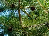 Pine Cones On The Tree. Pine In The Forest. Evergreen Pine. Pine poster