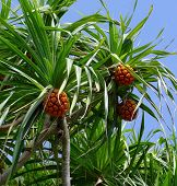 Pandanus Tree Also Known As Pandan Or Screw Pine Or Screw Palm. It Is A Palm-like Tree And Shrub Nat poster