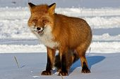 Fox On The Snow. Fox, Common Or Red Fox (vulpes Vulpes) Is A Predatory Mammal Of The Dog Family. Red poster