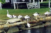 A Group Of Pelicans On The Banks Of A Creek At S.W. Rocks, N.S.W.