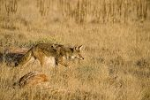 picture of scat  - Coyote getting ready to pounce on a mouse - JPG