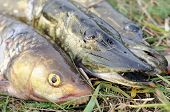 stock photo of chub  - Fisherman - JPG