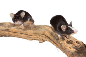 stock photo of fancy mouse  - Two cute little mice scampering along a log as they explore their environment isolated on white - JPG