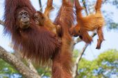 image of orangutan  - Orangutan in the jungle of Borneo - JPG
