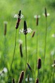 picture of ribwort  - Plantain Flower Head - JPG