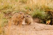 stock photo of ceres  - Ground squirrels with nut and love together - JPG