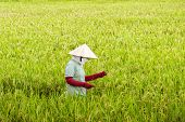 Vietnamese woman working in the rice paddy