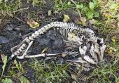 foto of possum  - Bones of a dead possum laying in the grass