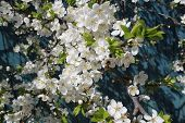 pic of pompous  - spring young tree cherry in pompous flourish bloom - JPG