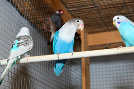 picture of budge  - Three blue budgerigars in the cage on a perch - JPG
