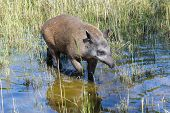 image of tapir  - Lowland or South American tapir  - JPG