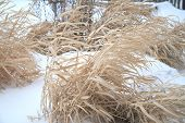 pic of paysage  - Dried grass swaying at the winter - JPG