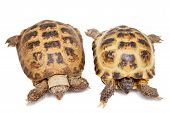 stock photo of russian tortoise  - Russian Tortoise or Central Asian tortoise - JPG