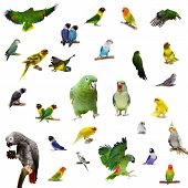 image of parakeet  - Set parrots and parakeets isolated on white - JPG