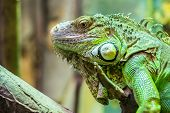 image of zoo  - Zoo Green Iguana Reptile Portrait Close Up - JPG