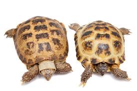 pic of russian tortoise  - Russian Tortoise or Central Asian tortoise - JPG