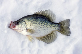 picture of crappie  - crappie caught ice fishing laying on the ice - JPG