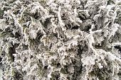 picture of northeast  - Frozen Thuja occidentalis with snow winter background - JPG