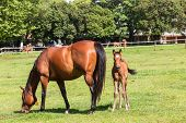 picture of stud  - Horse mare and foal colt on stud farm field - JPG